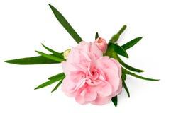 在白色隔绝的新鲜的桃红色康乃馨花 库存照片