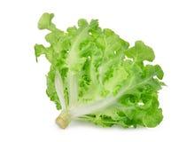 在白色隔绝的新鲜的绿色橡木莴苣沙拉叶子 库存图片