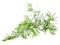在白色隔绝的新鲜的茶树叶子 库存照片