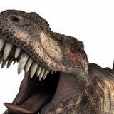 在白色隔绝的暴龙rex 库存图片