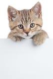 在白色隔绝的横幅后的苏格兰猫小猫 免版税库存图片