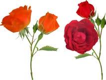 在白色隔绝的橙色和红色两朵玫瑰色花 图库摄影