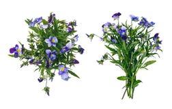 在白色隔绝的狂放的紫罗兰色花花束 免版税库存图片