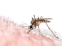 在白色隔绝的疟疾或Zika病毒被传染的蚊咬 免版税图库摄影