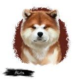 在白色隔绝的秋田品种数字式艺术例证 逗人喜爱的家养的纯血统动物 狗美国人秋田大品种  向量例证