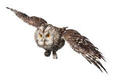 在白色隔绝的美丽的伟大的猫头鹰特写镜头  免版税库存图片