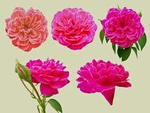 在白色隔绝的美丽的玫瑰色花 免版税库存图片