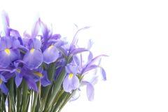 在白色隔绝的花束虹膜 图库摄影
