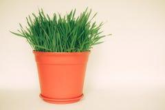 在白色隔绝的花盆的绿草 免版税库存照片
