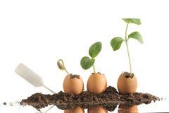 在白色隔绝的蛋壳的有机幼木植物 免版税库存照片