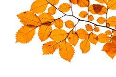 在白色隔绝的黄色树叶子 免版税库存图片