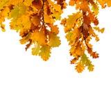 在白色隔绝的黄色橡树叶子 免版税库存照片