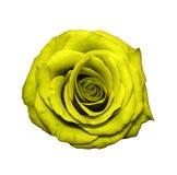 在白色隔绝的黄色罗斯头 库存照片