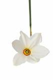 在白色隔绝的黄色黄水仙水仙花  免版税库存照片