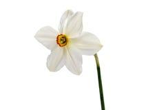 在白色隔绝的黄色黄水仙水仙花  免版税库存图片