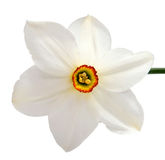 在白色隔绝的黄色黄水仙水仙花  库存照片