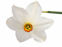 在白色隔绝的黄色黄水仙水仙花  库存图片
