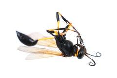 在白色隔绝的一个大黄蜂 免版税库存照片