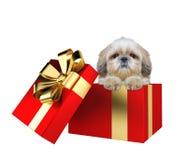 在白色隔绝的一个红色当前箱子的逗人喜爱的shitzu小狗 免版税库存照片