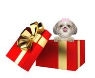 在白色隔绝的一个红色当前箱子的逗人喜爱的shitzu狗 免版税库存照片