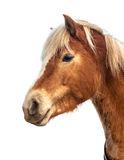 在白色隔绝的一匹逗人喜爱和骄傲的棕色马的头 免版税库存图片