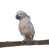 在白色隔绝的一只桃红色鹦鹉 免版税库存照片