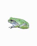 在白色隔绝的一只灰色雨蛙 库存图片