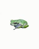 在白色隔绝的一只灰色雨蛙 免版税库存图片