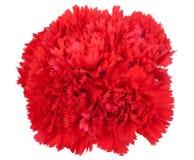 在白色隔绝的红色flowe康乃馨 库存图片