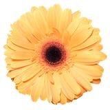 在白色隔绝的一朵橙色德兰士瓦雏菊花 免版税库存照片