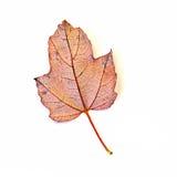 在白色隔绝的一片红槭叶子 图库摄影