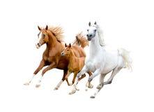 在白色隔绝的三匹阿拉伯马 免版税库存照片