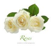 在白色隔绝的三朵白玫瑰 免版税图库摄影