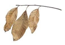 在白色隔绝的三片干燥叶子 免版税库存图片