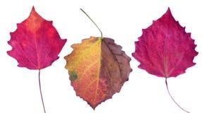 在白色隔绝的三片白杨木秋天叶子 免版税库存图片