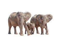 在白色隔绝的三头大象 免版税库存图片