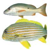 在白色隔绝的东方Sweetlips和攫夺者鱼 免版税库存图片