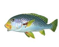在白色隔绝的东方Sweetlips鱼 免版税库存图片