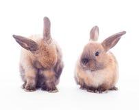 在白色隔绝的两只兔子。 免版税图库摄影