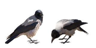 在白色隔绝的两只灰色乌鸦 免版税库存图片