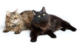 在白色隔绝的两只逗人喜爱的蓬松猫 库存照片