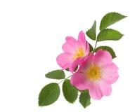 在白色隔绝的两朵桃红色玫瑰 免版税库存图片