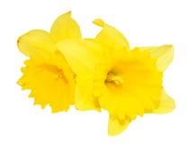在白色隔绝的两朵黄水仙花 免版税库存图片