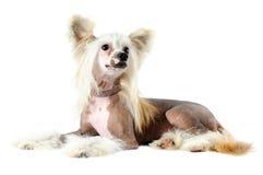 在白色隔绝的中国有顶饰狗画象 库存图片