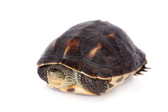 在白色隔绝的中国条纹收缩的乌龟 库存照片
