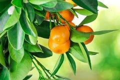 在白色隔绝的中国柑桔树 库存照片