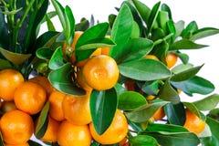 在白色隔绝的中国柑桔树 免版税库存照片