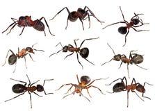 在白色隔绝的九只森林蚂蚁 库存照片