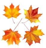 在白色隔绝的五颜六色的秋天槭树叶子 免版税库存图片