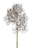 在白色隔绝的光秃的灰色桤木 图库摄影